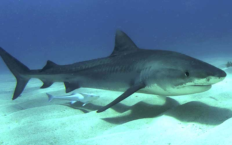 essay the tiger vs the shark Classification of the white shark and selected other creatures taxonomy is the scientific art of classifying living things biological classification has two basic objectives.