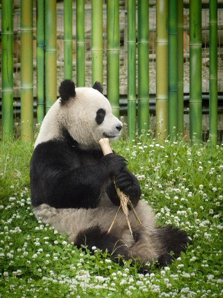Hermoso oso panda en cautiverio
